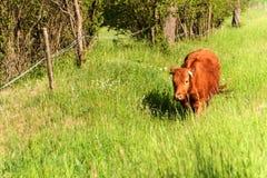 在牧场地的家养的牛 繁殖的母牛和公牛 在农场的生活 免版税库存图片