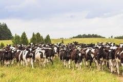 在牧场地的小牛 库存图片