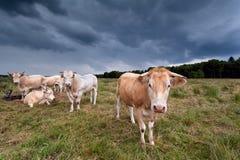 在牧场地的少量母牛在黑暗的天空 库存照片