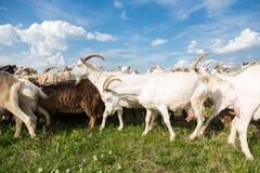 在牧场地的山羊 免版税库存照片