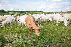 在牧场地的山羊 图库摄影