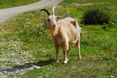 在牧场地的山羊 库存照片