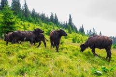在牧场地的布朗公牛 图库摄影