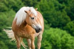 在牧场地的布朗马有头的举行了上流 免版税库存照片