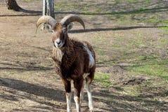 在牧场地的成人狂放的男性moufflon 免版税库存图片