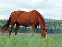 在牧场地的栗子马 免版税库存图片