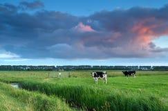 在牧场地的母牛日落的 免版税库存图片