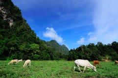 在牧场地的母牛 库存图片
