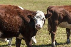 在牧场地的母牛 免版税图库摄影
