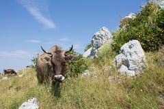 在牧场地的母牛 库存照片