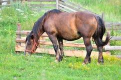 在牧场地的母马 免版税库存图片