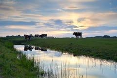 在牧场地的牛日落的 免版税库存照片
