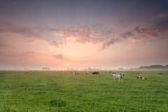 在牧场地的牛牧群日出的 免版税库存图片