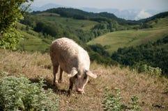 在牧场地的猪 免版税库存照片