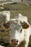 在牧场地的白色母牛在夏天 免版税库存照片