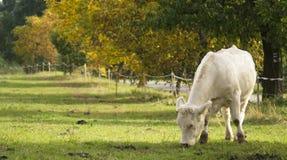 在牧场地的白色母牛 免版税图库摄影
