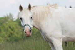 在牧场地的白马有头的举行了上流 免版税图库摄影