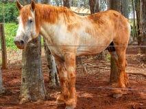 在牧场地的白马Percheron肮脏的泥 库存图片
