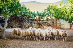 在牧场地的绵羊牧群在撒丁岛 免版税库存照片