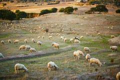 在牧场地的绵羊牧群在撒丁岛 图库摄影