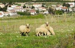 在牧场地的羊在Kolan, Pag海岛附近在克罗地亚 免版税图库摄影