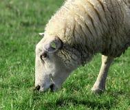 在牧场地的美丽的白羊 免版税图库摄影