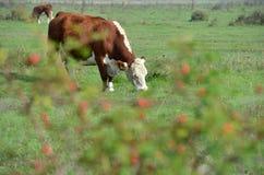 在牧场地的赫里福德牧群 库存照片
