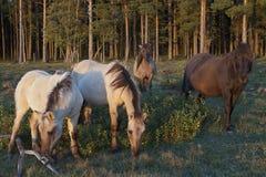 在牧场地的野马牧群 库存图片