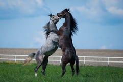 在牧场地的阿拉伯公马 免版税库存照片