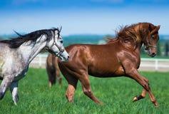 在牧场地的阿拉伯公马 库存照片