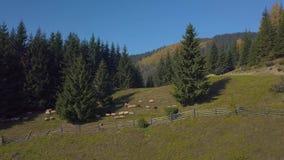 在牧场地的飞行有绵羊的 股票录像