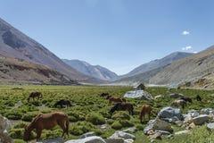 在牧场地的马在山中 免版税图库摄影