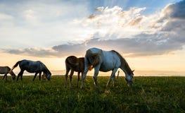 在牧场地的马在日落附近的11月的 库存图片