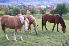 在牧场地的马 免版税库存图片