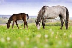 在牧场地的马 免版税库存照片