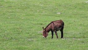 在牧场地的驴 影视素材