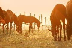 在牧场地的驹 免版税库存照片