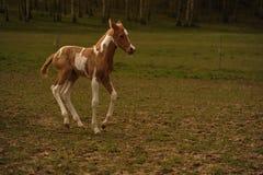 在牧场地的驹 免版税图库摄影