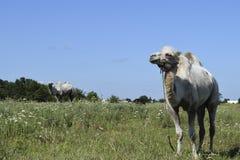 在牧场地的骆驼 库存照片