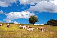 在牧场地的高山母牛 免版税库存图片