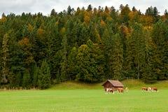 在牧场地的高山母牛 免版税库存照片