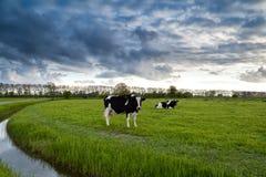 在牧场地的黑白母牛 库存照片