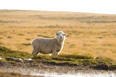 在牧场地的绵羊 福克兰群岛 图库摄影