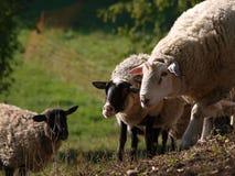 在牧场地的绵羊 免版税图库摄影