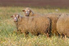 在牧场地的绵羊 免版税库存图片
