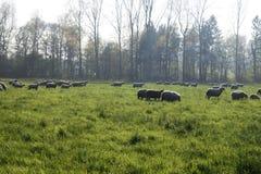 在牧场地的绵羊 免版税库存照片