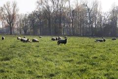 在牧场地的绵羊 库存图片