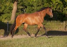 在牧场地的Holsteiner传种母马 免版税库存图片