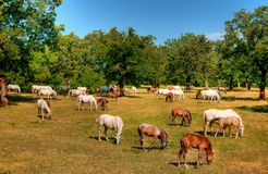 在牧场地的Lipica马 库存照片