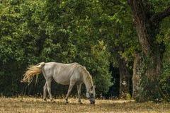 在牧场地的Lipizzaner 库存照片